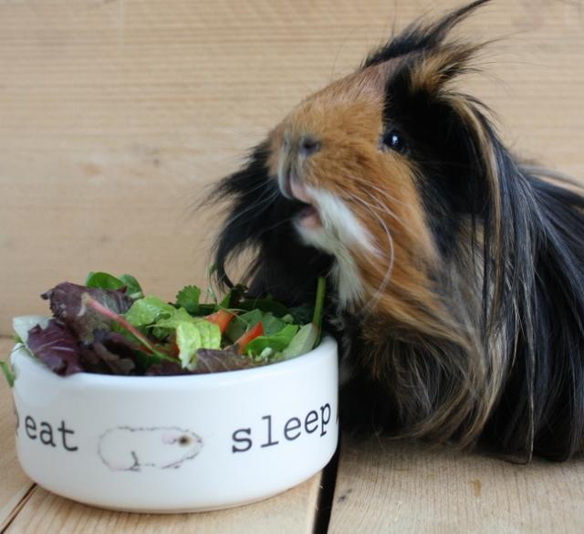 how to know when your guinea pig& 39